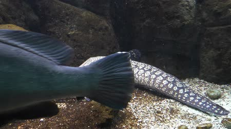 pettyes : View of full length muraena fish resting on the seabed with open mouth.A big dark blue fish swims between camera and Mediterranean moray