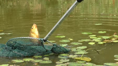 крюк : Man caught crucian carp in the pond and pulls fish out of the water using landing net