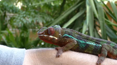 ящерица : Chameleon holding tight on mans forearm outdoor and watches environment by moving its eyes independently