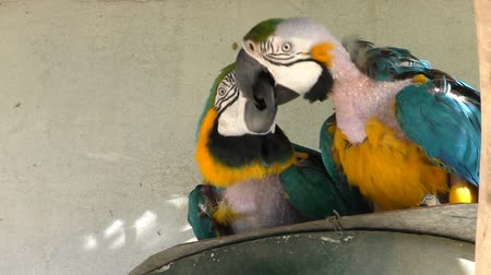 ara : Pair of molting blue and yellow macaw parrots playing with their beaks Stock Footage