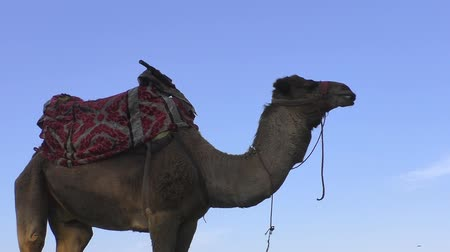 wielbłąd : Low angle side view of a camel ready for riding standing against blue sky Wideo