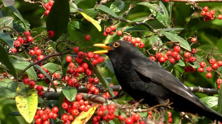 turdus merula : Close up of common blackbird, Turdus merula on swinging cotoneaster tree branch eating red berries Stock Footage
