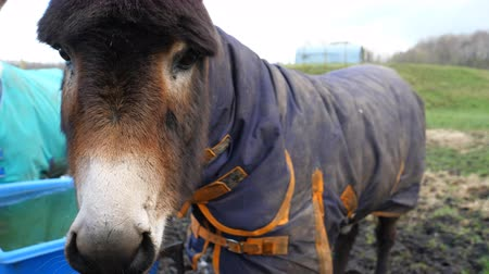 inglaterra : Close up of head of dark brown donkey standing dressed with coat outside in winter on the farmland and other donkey is behind Vídeos