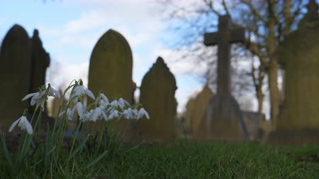 churchyard : Low angle close up shot of snowdrop flowers in old English cemetery with blurry cross and other tombstones in the background in winter or spring