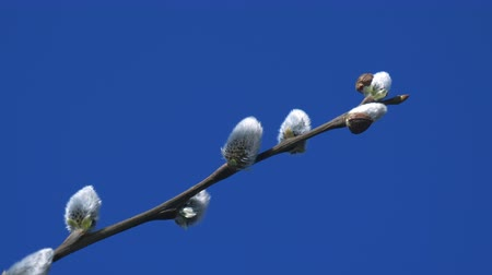 bichano : Pussy willow branch swaying slowly against blue sky background, sun light reflected from water flicker on buds