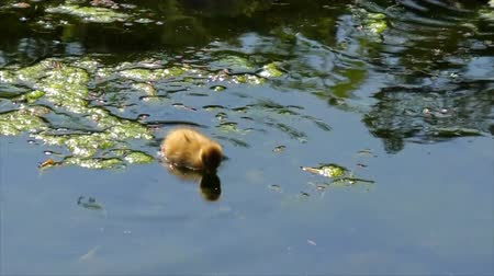 vodní ptáci : Camera following cute yellow duckling swimming quickly in the pond or lake