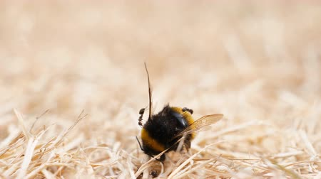 inspecting : Group of ants found dead insect, bee, bumblebee on the dried grass during dry period and examining its body for food