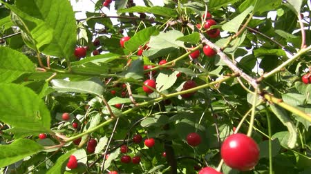 sweet cherry : Handheld camera moving through the cherry tree branches full of red cherries