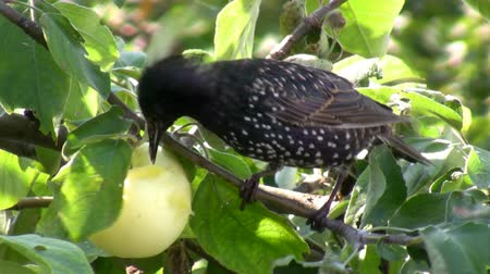 starling : Close up of common starling, Sturnus vulgaris bird on apple-tree branch eating an apple fruit in summer