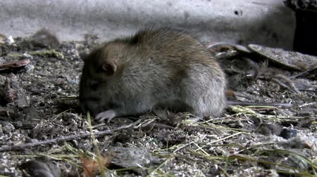 haşarat : Rat eating something on  a filthy soil