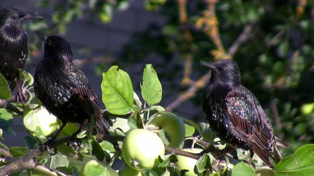 starling : Three starlings sitting on apple tree branch with fruits, one bird flying away Stock Footage