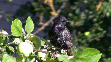 starling : Close up of spotted starling bird looking around on the apple tree branch close to apple fruit