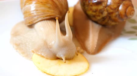 lesma : Two giant African land snails on white background.One is eating apple while other is moving away Vídeos
