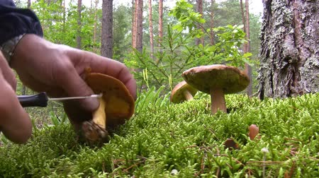 porcini mushrooms : Man in the pine forest cutting boletus mushrooms with knife