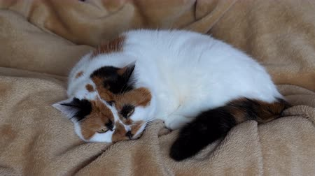 üç renkli : Tri-colored or calico cat is lying on fleece blanket by somebodys legs and falling asleep