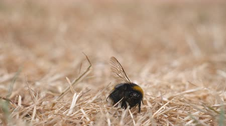 osa : Two ants exploring body of dead bumblebee on the dry grass