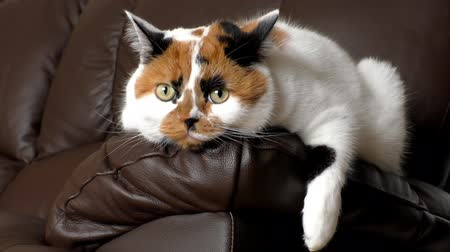 děje : Tricolor white, orange and black calico cat lying on dark leather arm listening and watching whats happening around
