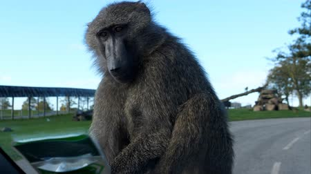 baboon : Baboon monkey takes a ride on car bonnet, car windshield view from inside, handheld camera