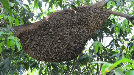 pszczoła : Big honeycomb on a tree