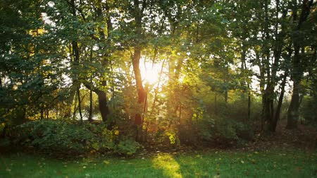 ツリー : Beautiful Morning Sunshine via Trees in the Park in Late Summer during Sunrise with Sun Rays and Lense Flare 動画素材