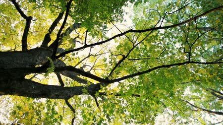 through leaves : Rotating Background Low Angle Shot of of a Big Maple Tree with Yellow and Green Leaves in Autumn