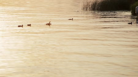 observação de aves : Beautiful Background Shot of a Mallard Ducks Swimming in the Lake with Golden Color Water at Sunset Vídeos