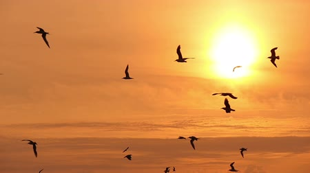 birds flying : gulls in the sky at sunset, slow motion Stock Footage