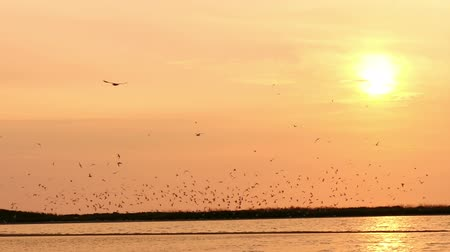 racek : flock of seagulls in the sky at sunset over the river , slow motion Dostupné videozáznamy