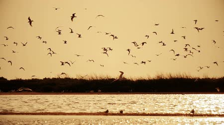 wild bird : flock of seagulls in the sky at sunset over the river Stock Footage