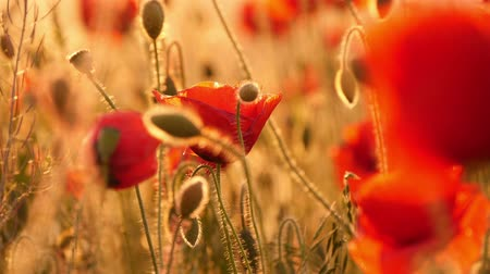 haşhaş : red poppies in the field Stok Video
