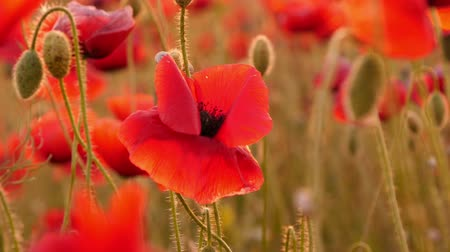 mák : beautiful red poppies in the field