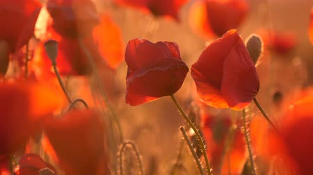 mák : Splendid closeup of red and yellow poppies waving on a fabulous field with hundreds of beautiful flowers in Ukraine in a sunny day in summer. The tender petals of poppies impress with their fragility. Stock mozgókép