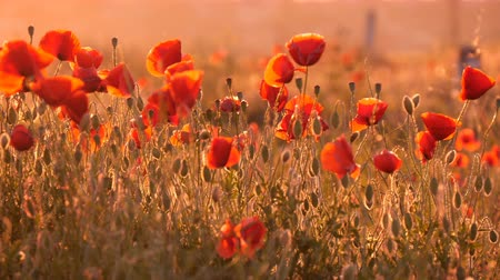 mák : Marvelous view on a red poppy field covered with hundreds of beautiful flowers under the rays of a splendid sunrirse in Ukraine in summer.The slight wind waves the flowers in an amazing way