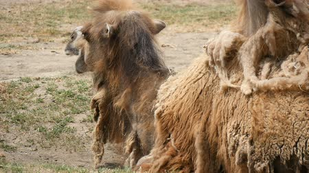 глыба : Impressive close up of a two humped camel which lies on the land and chews hay in a zoo in summer in slow motion. It looks satisfied and full though the lumps of wool leaves his back