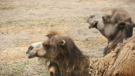 bactrianus : Splendid close up of a couple of two humped camel which lies on the land and chews hay in a zoo in summer in slow motion. It looks satisfied and full though the lumps of wool leaves his back