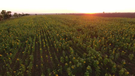 radiante : A wonderful bird`s eye view of a sunflower field with beautiful flowers swaying under the radiant rays at a picturesque sunset in summer Stock Footage