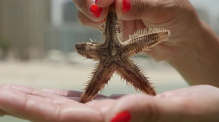 quebradiço : Closeup of a five arm starfish with brown and spiny surface in female hands with red makeup on a shore in Dubai with skyscrapers in summer Stock Footage