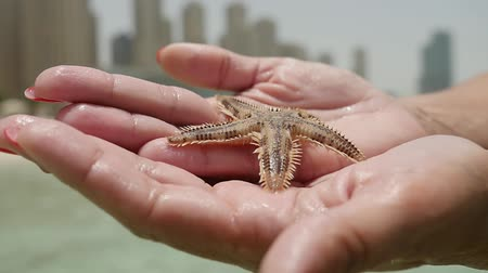 quebradiço : An exciting view of a sea star with five arms and brown spiny surface lying on hands of a woman on sandy shore in Dubai on a sunny day in summer