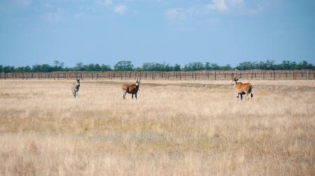 horned : Wonderful view of large brown antelopes pasturing and looking around in Taurida steppe sanctuary with gorgeous skyscape on a sunny day in summer
