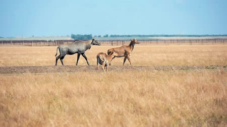 horned : Splendid long shot of brown exotic antelopes grazing hay and looking around in Taurida steppe conservation with rusty grass on a sunny day in summer