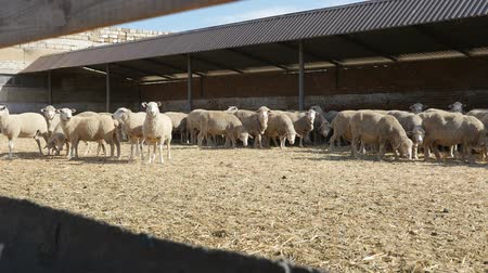koyun eti : Optimistic view of a white sheep herd standing and staring around while relaxing on a farm on a sunny day in summer in slow motion
