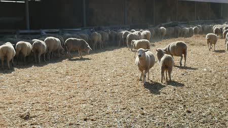 ewe : Striking view of a big sheep herd  seeking hay food, standing, staring and running on a farm on a sunny day in summer in slow motion