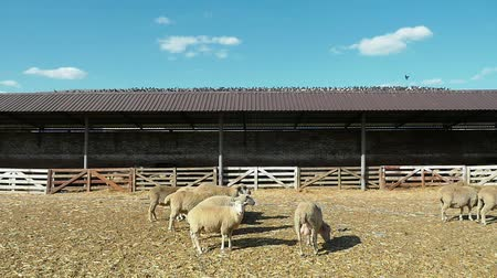 koyun eti : Arty view of a large sheep herd sticking together and grazing yellow straw under a tiled roof on a sunny day with celeste sky in slow motion Stok Video