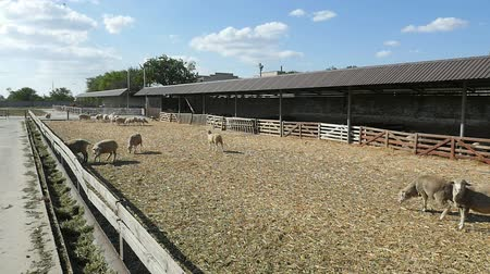 karmnik : Dolly in shot of large white sheep standing and staring at a cameraman on a large farm with a grey roof on a sunny day in summer in slow motion