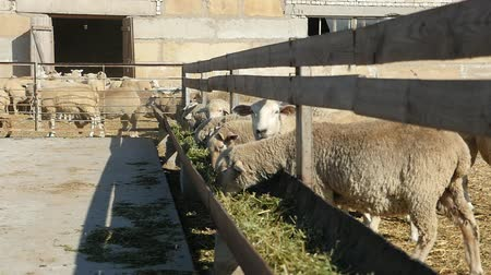 besleyici : Cheerful view of a group of white sheep eating green and yellow hay in a long and straight wooden feeder put at a fence in slow motion