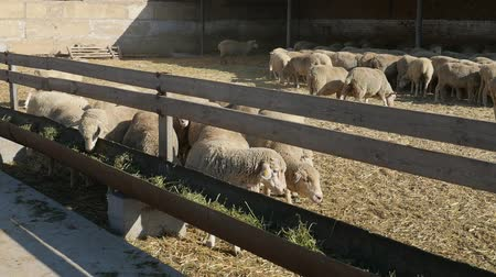 meat stock : Impressive view of a group of white sheep eating hay placed in long wooden feeders and going to their herd back on a sunny day in summer