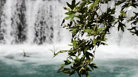 coleopteres : Dragonflies landing and flying from the leaf in front of the waterfall. Dragonflies standing on green leaf.