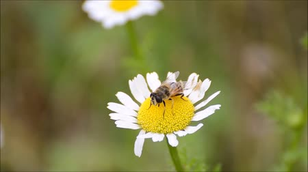 polinização : Bee on the flower. Honey bee working on daisy flower. Stock Footage