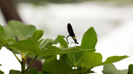 coleopteres : Dragonfly standing on the green leaf and showing its tail in front of the waterfall.