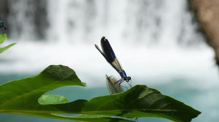 coleopteres : Dragonfly standing and flying from the leaf in front of the waterfall. Dragonfly standing on green leaf.